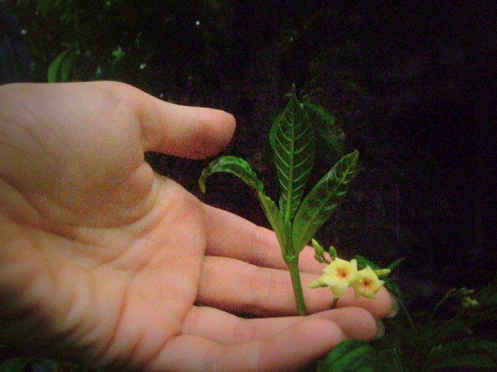 Iboga Flowers