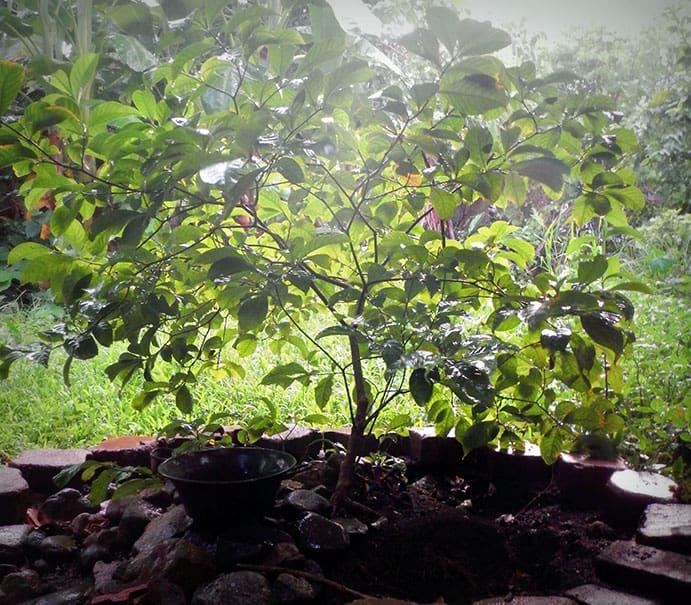 Iboga Tree in Mexico