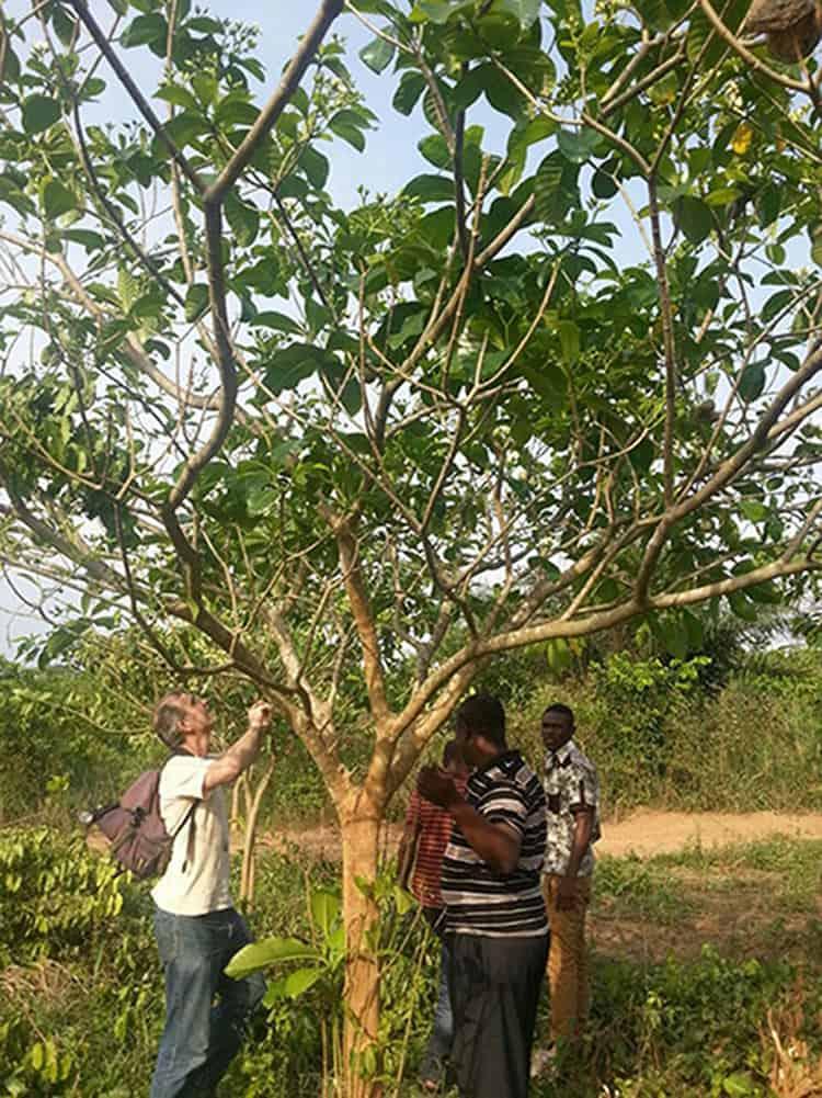 Voacanga africana Farm
